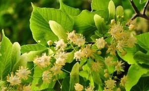 Липа - лекарственное растение