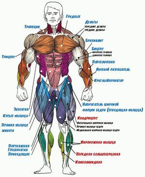 Как устроена мышечная система