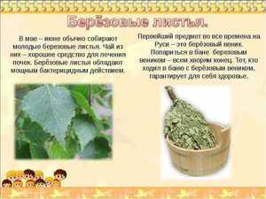 Польза березовых листьев