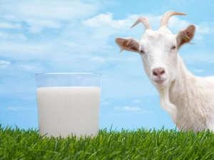 Как употреблять козье молоко