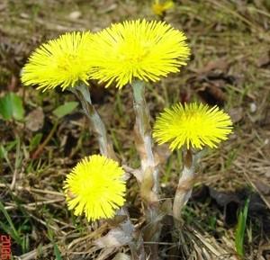 Химический состав травы Мать-и-мачеха